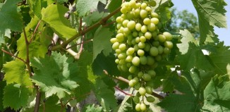 Виноградник Абхазии