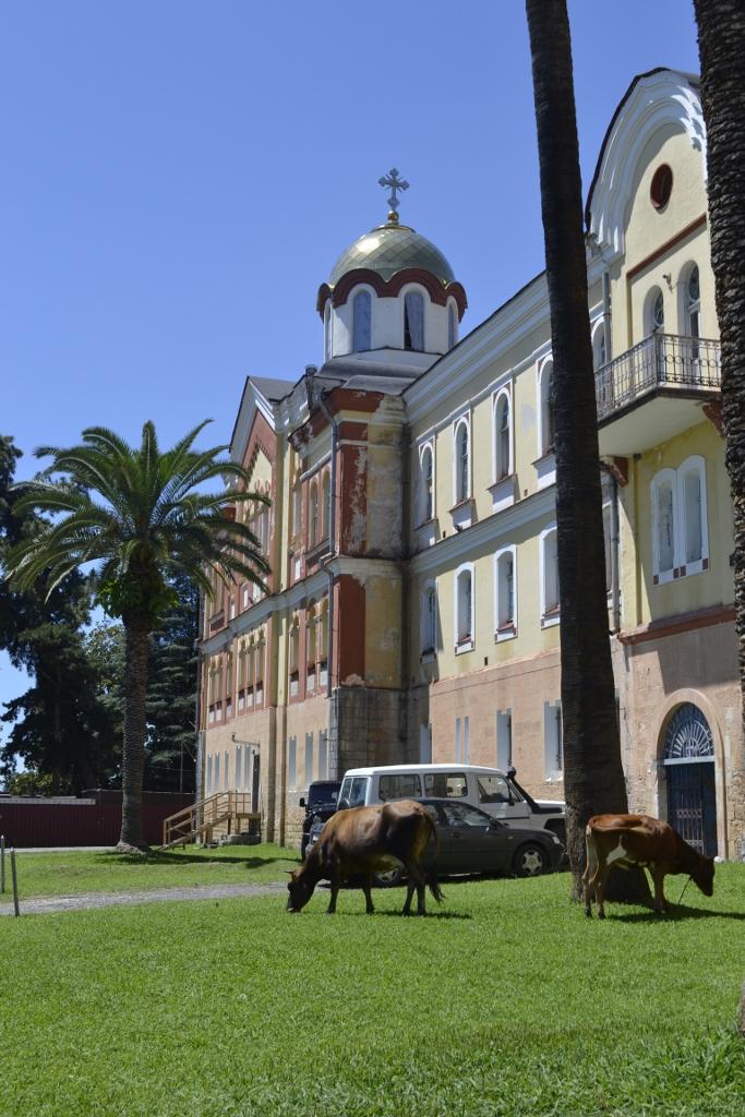 Коровы у Новоафонского монастыря
