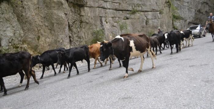 Коровомобили на дорогах Абхазии